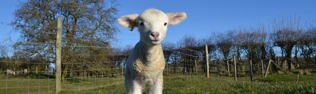 lambing-and-kidding-banner