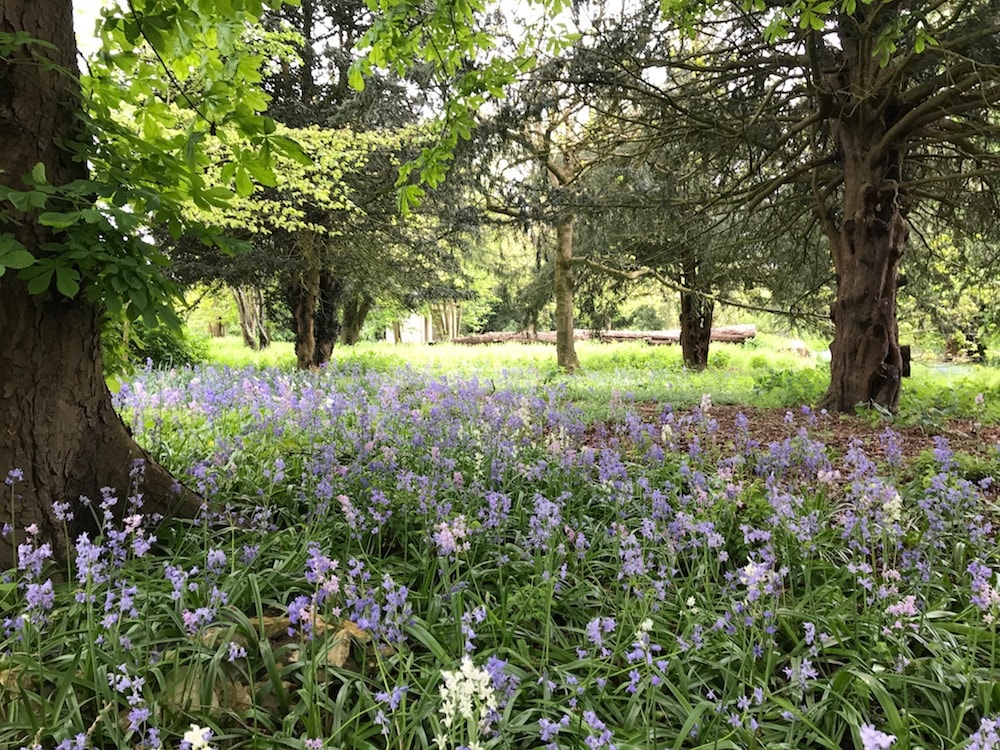 field of bluebells under tree canopy