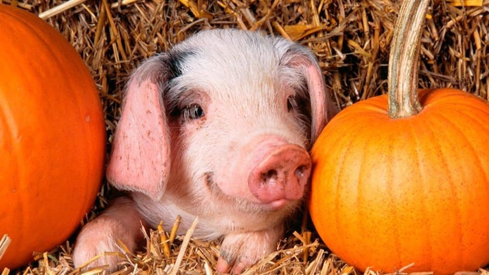 piglet laying in hay next to pumpkins
