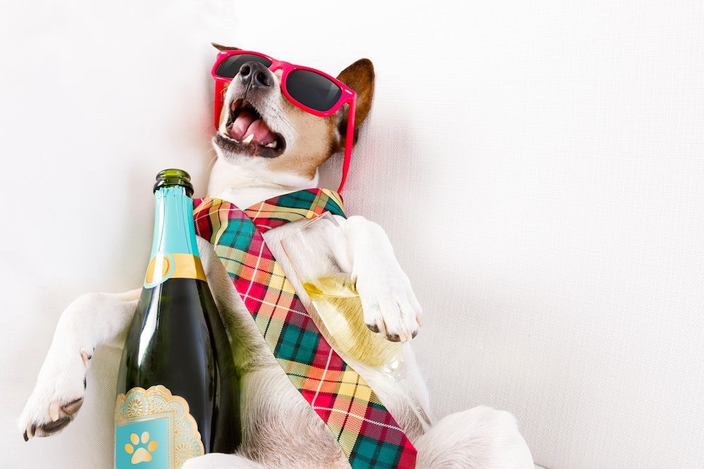 drunk dog holding champagne bottle wearing chequered tie red sunglasses mouth open