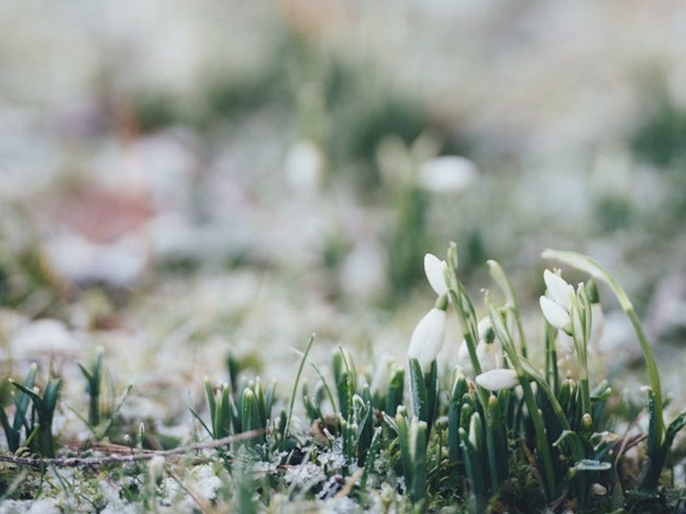 snowdrop flowers field